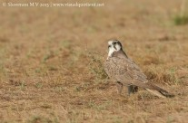 Photography Technique – Laggar Falcon on the Ground