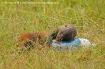 Stripe-necked Mongoose with Water Bottle
