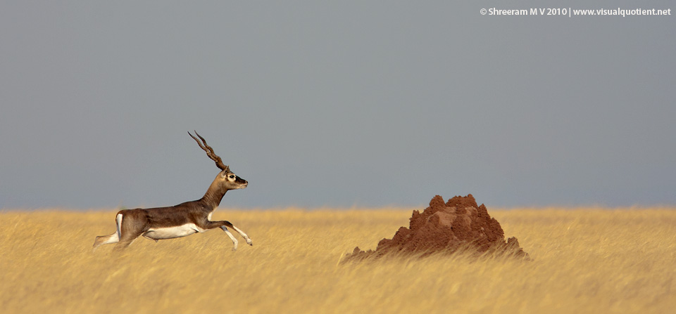 Sprinting Blackbuck