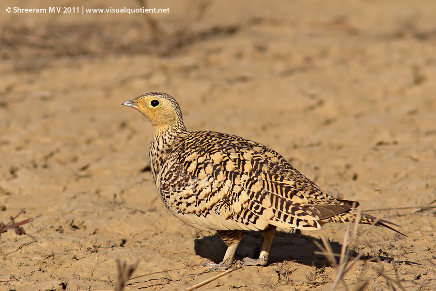 Image result for sandgrouse in india