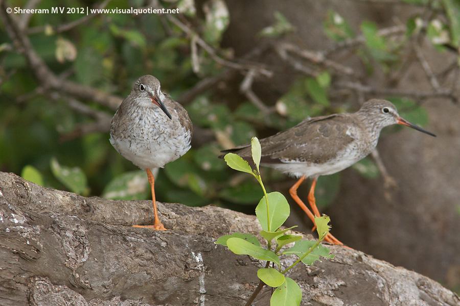 Common Redshanks (Tringa totanus)