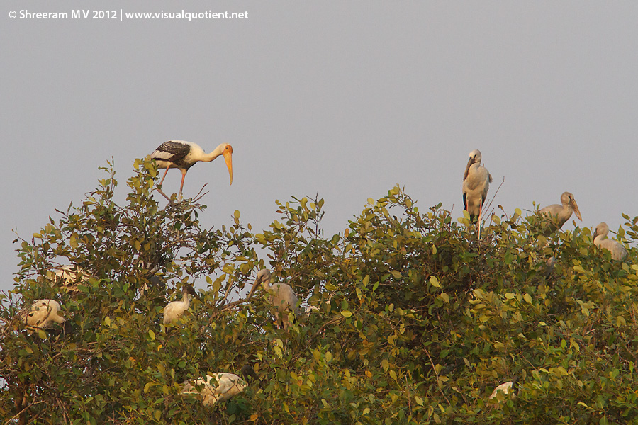 Painted Storks and other birds roosting
