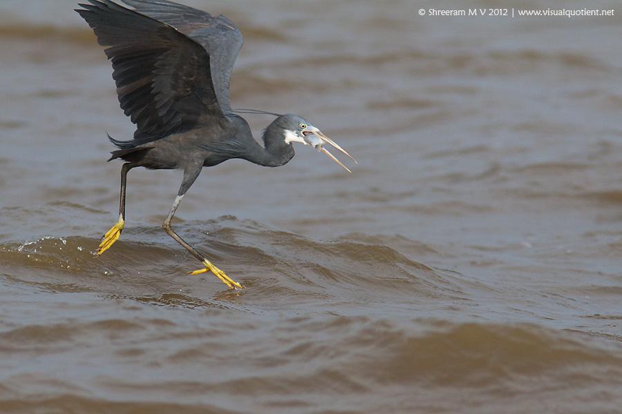 Western Reef Egret (Egretta gularis) - Hunt Sequence 1