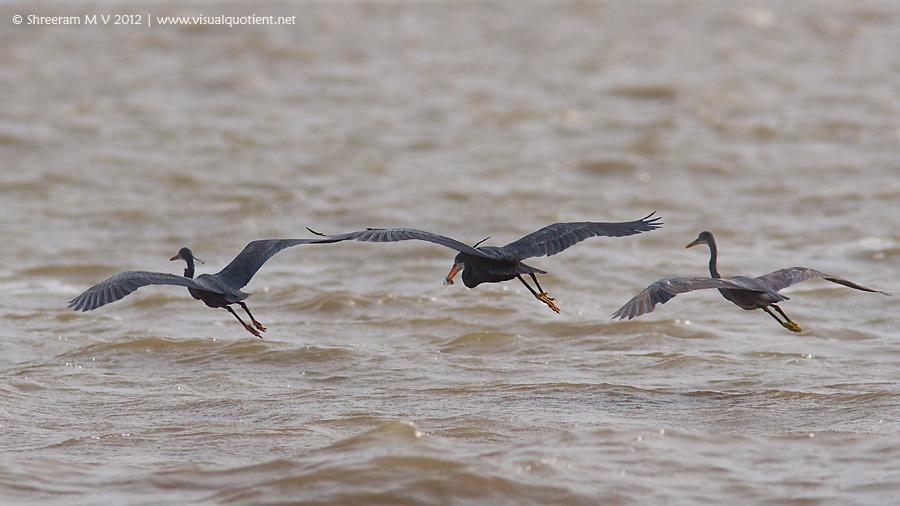 Western Reef Egrets (Egretta gularis) flying away
