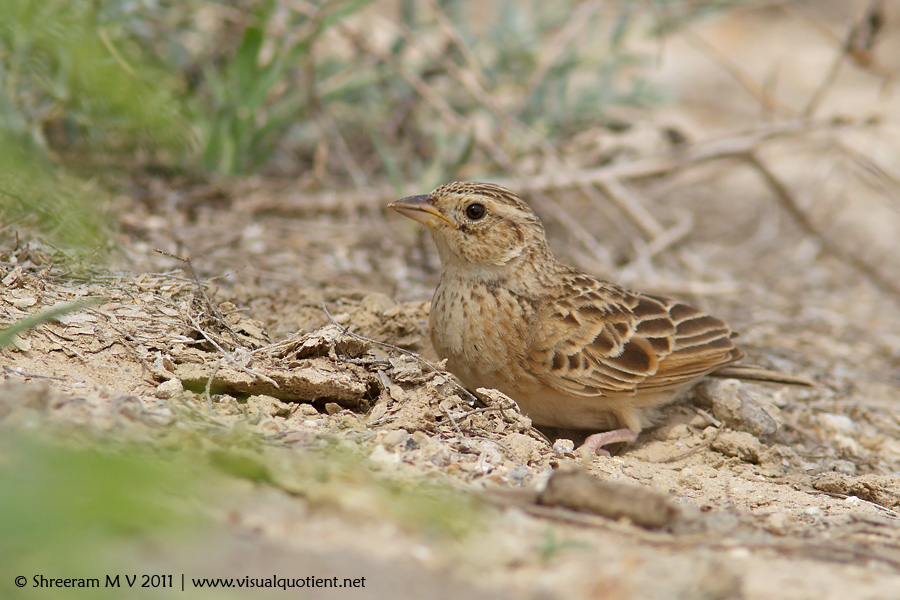Singing Bushlark (Mirafra cantillans)