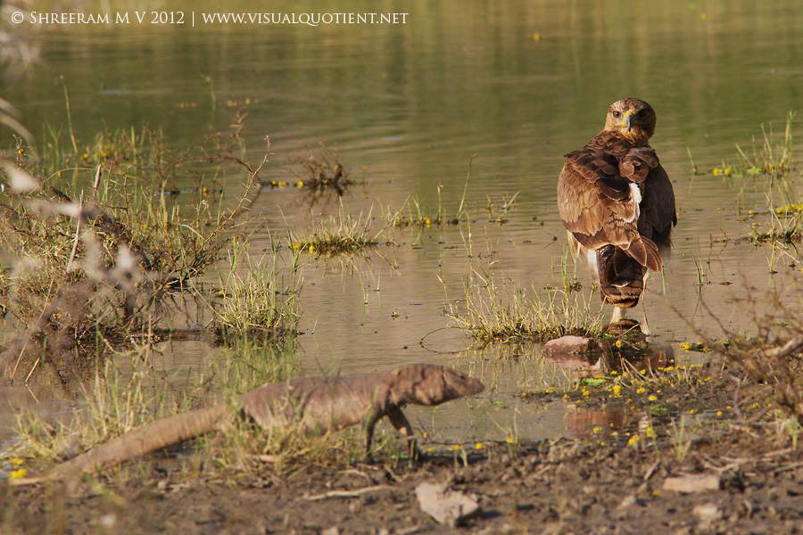 A Bengal Monitor walk in with Bonelli's Eagle in the water - Tal Chapar