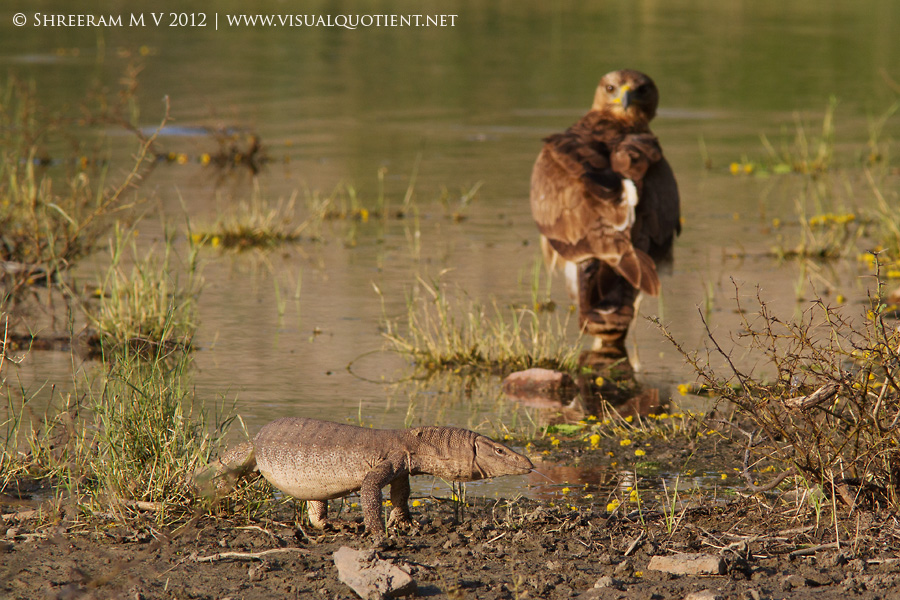 Bonelli's Eagle and Bengal Monitor - Tal Chapar