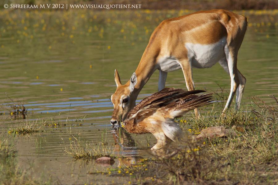 Bonelli's Eagle and Blackbuck sharing a drink - Tal Chapar