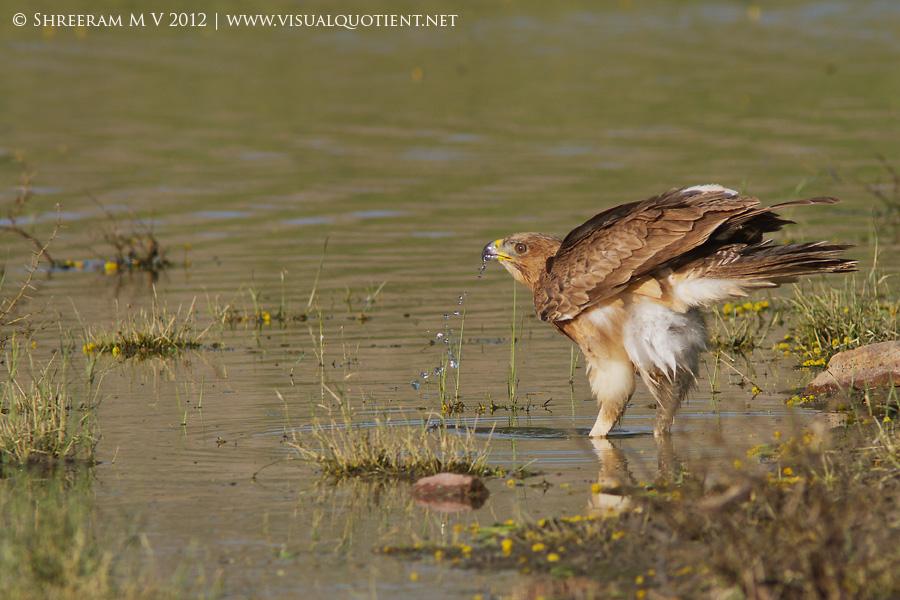 Bonelli's Eagle driking water - Tal Chapar