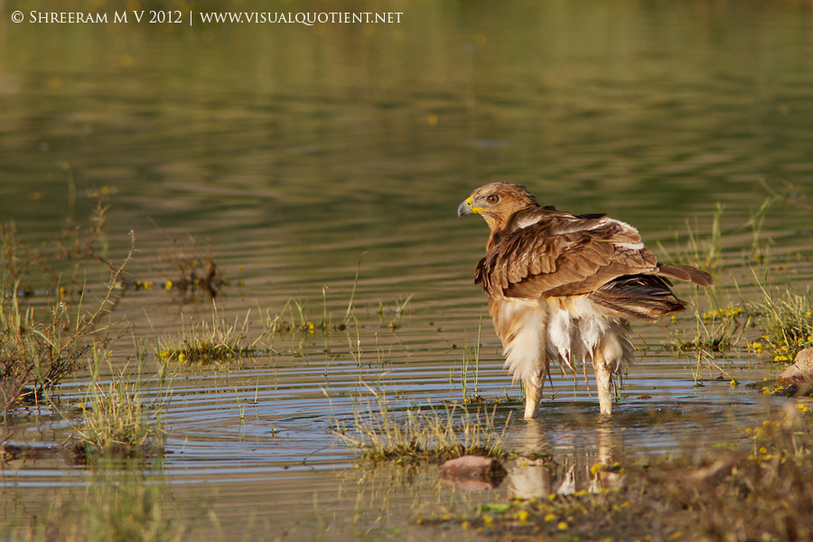 Bonelli's Eagle in water - Tal Chapar