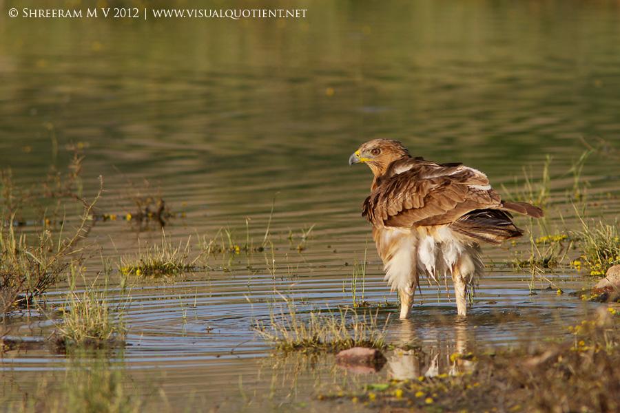 Bonelli's Eagle in water - Tal Chapar