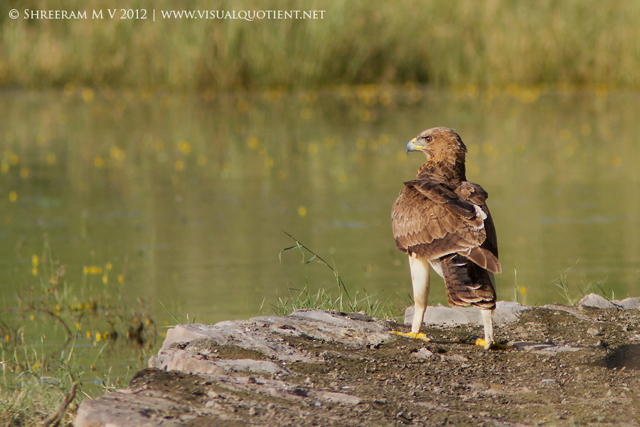 Bonelli's Eagle on embankment - Tal Chapar