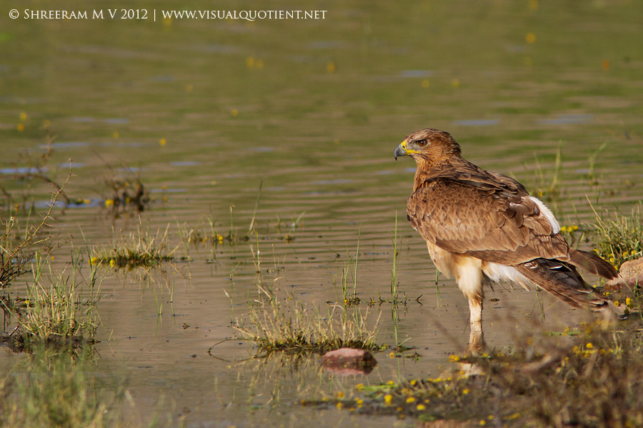 Bonelli's Eagle standing on one leg - Tal Chapar