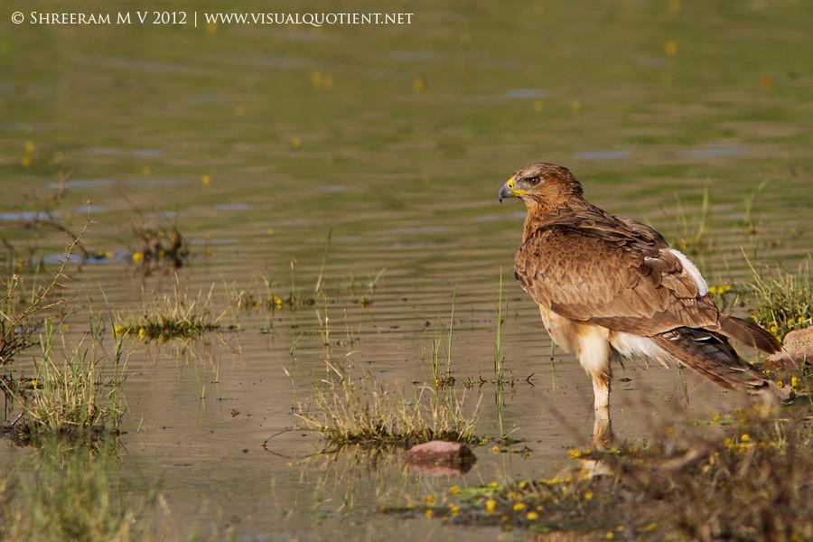 Bonelli's Eagle standing on one leg - Tal Chapar