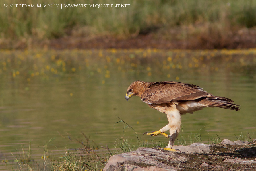Bonelli's Eagle stepping into water - Tal Chapar