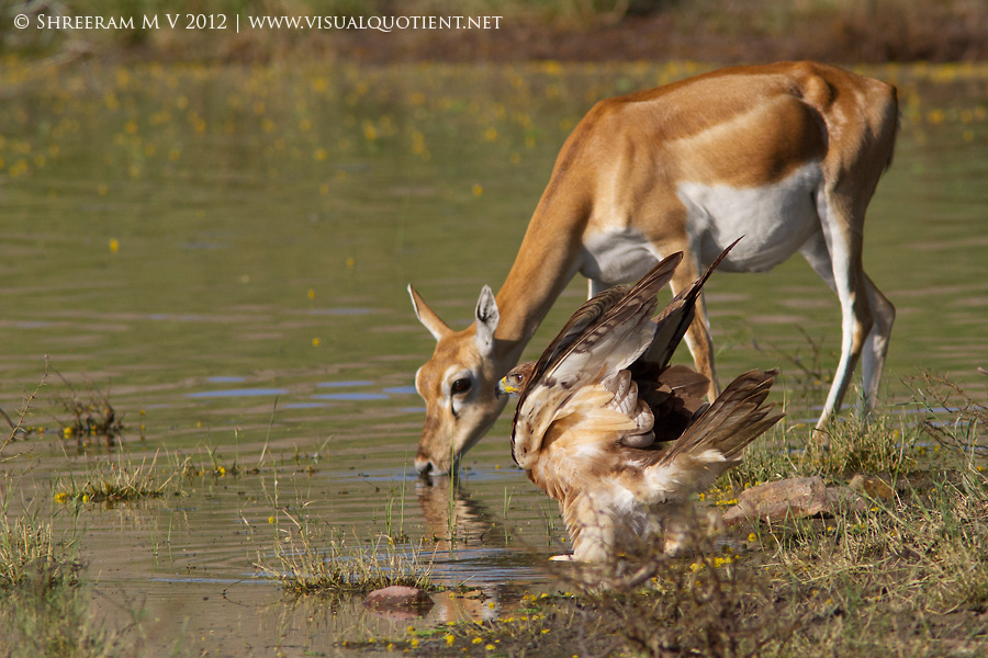 Bonelli's Eagle stretching and Blackbuck drinking water - Tal Chapar