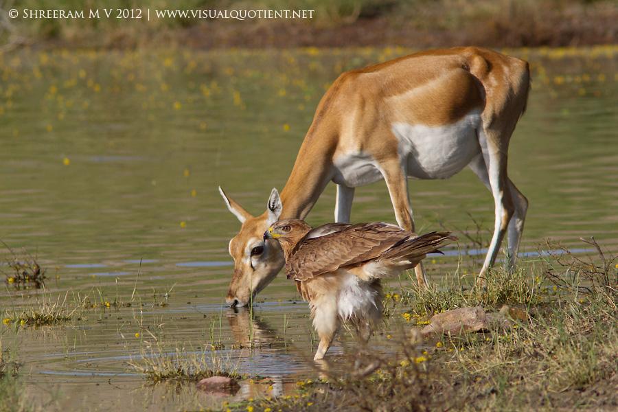 Bonelli's Eagle watching and Blackbuck drinking water - Tal Chapar