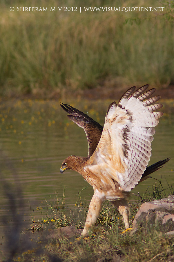 Bonelli's Eagle with wings spread - Tal Chapar