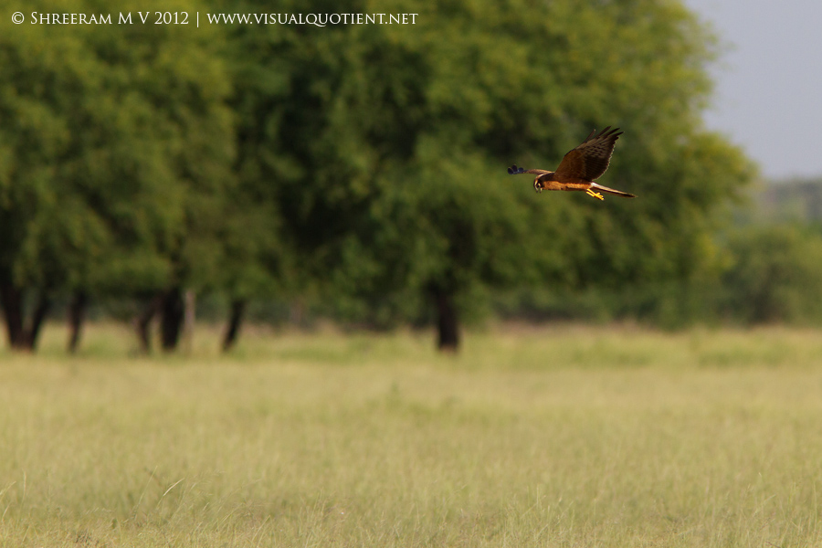 Harrier flying low over the grassland - Tal Chapar
