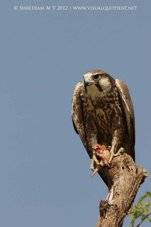 Laggar Falcon (Falco jugger) - Juvenile with prey
