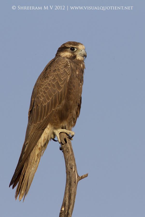 Laggar Falcon (Falco jugger) - Juvenile at Tal Chapar Wildlife Sanctuary