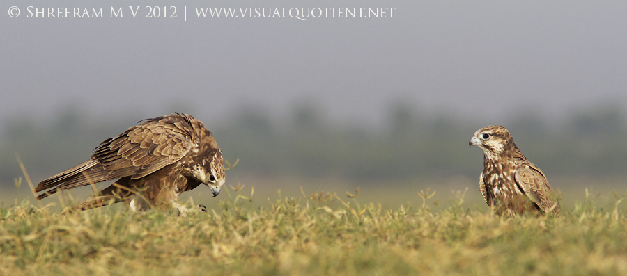 Laggar Falcon (Falco jugger) - Juveniles