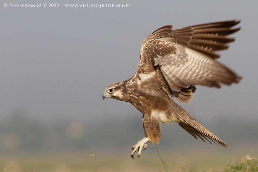 Laggar Falcon (Falco jugger) in flight