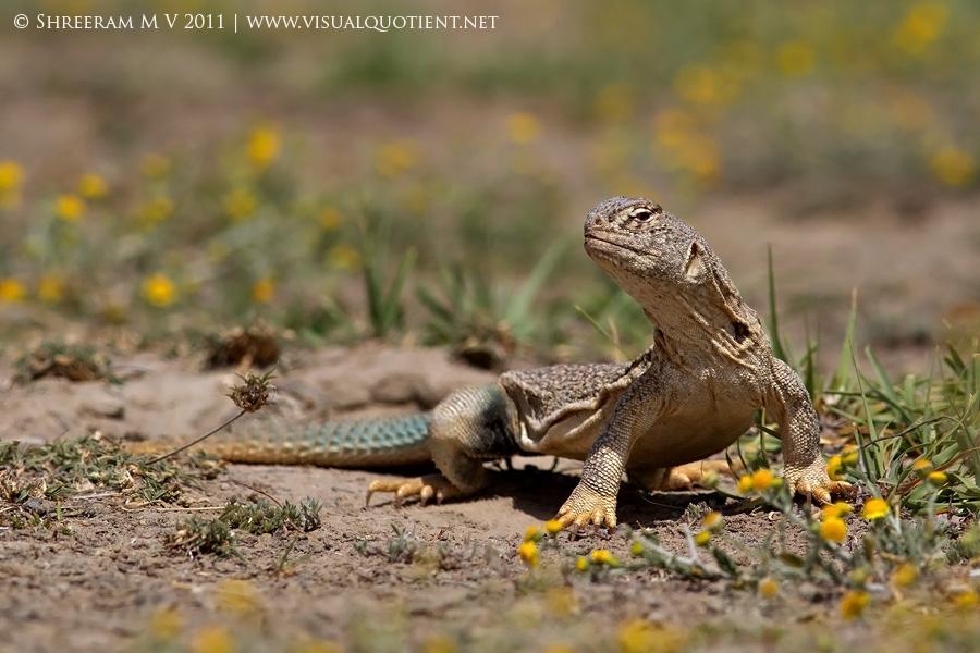 Spiny-tailed Lizard (Euromastyx hardwickii) at Tal Chapar Wildlife Sanctuary