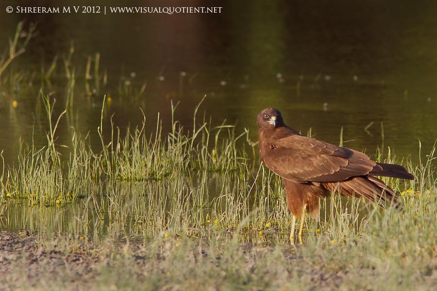 Western Marsh Harrier (Circus aeruginosus) - Tal Chapar