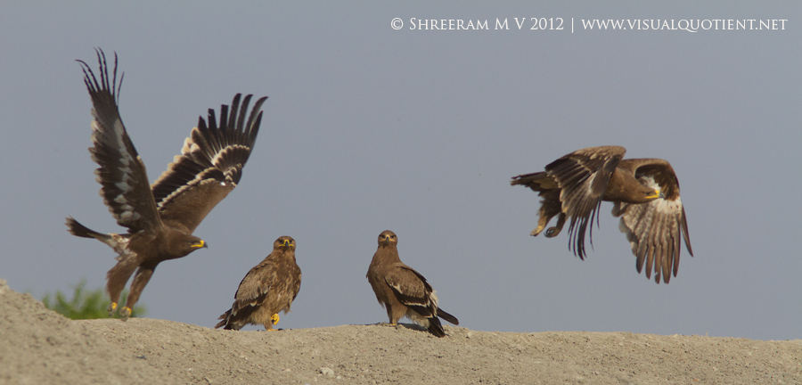 4 Steppe Eagles (Aquila nipalensis)