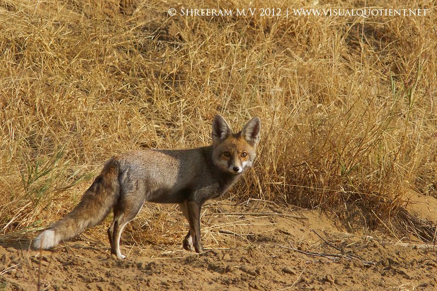 Desert Fox (Vulpes vulpes pusilla)