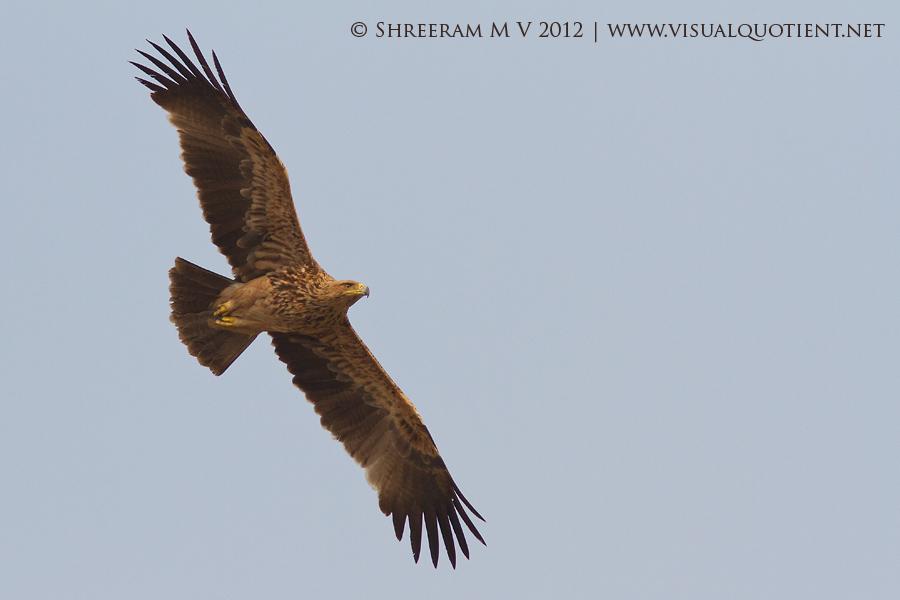 Eastern Imperial Eagle (Aquila heliaca) - flight