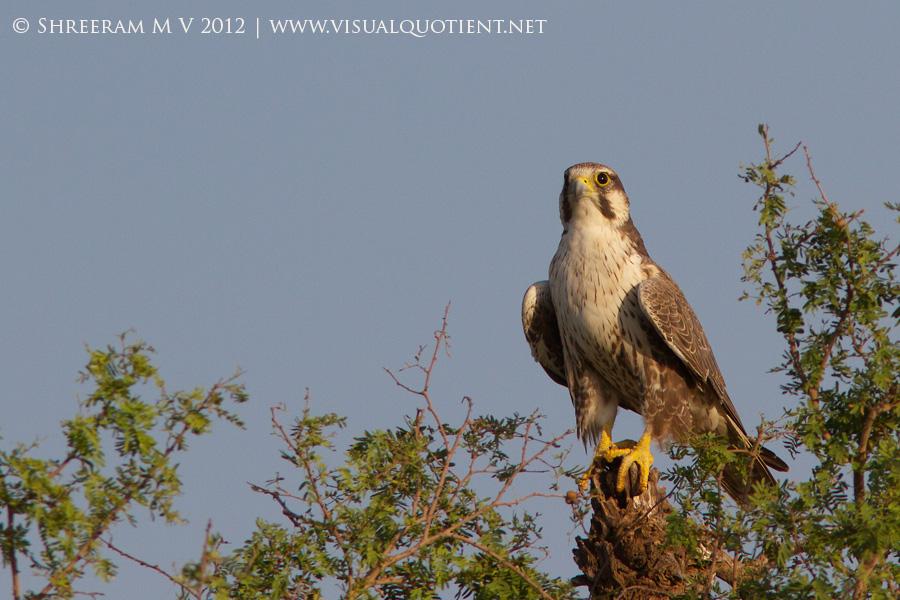 Laggar Falcon (Falco jugger) - Adult