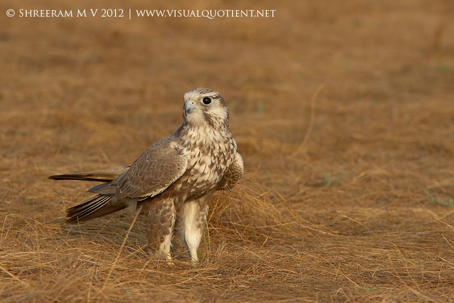 Laggar Falcon (Falco jugger) - Ground