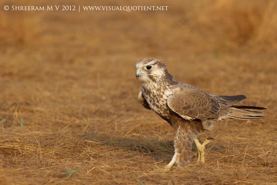 Laggar Falcon (Falco jugger) - Walking