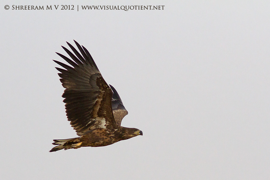 White-tailed Eagle (Haliaetus albicilla) in flight