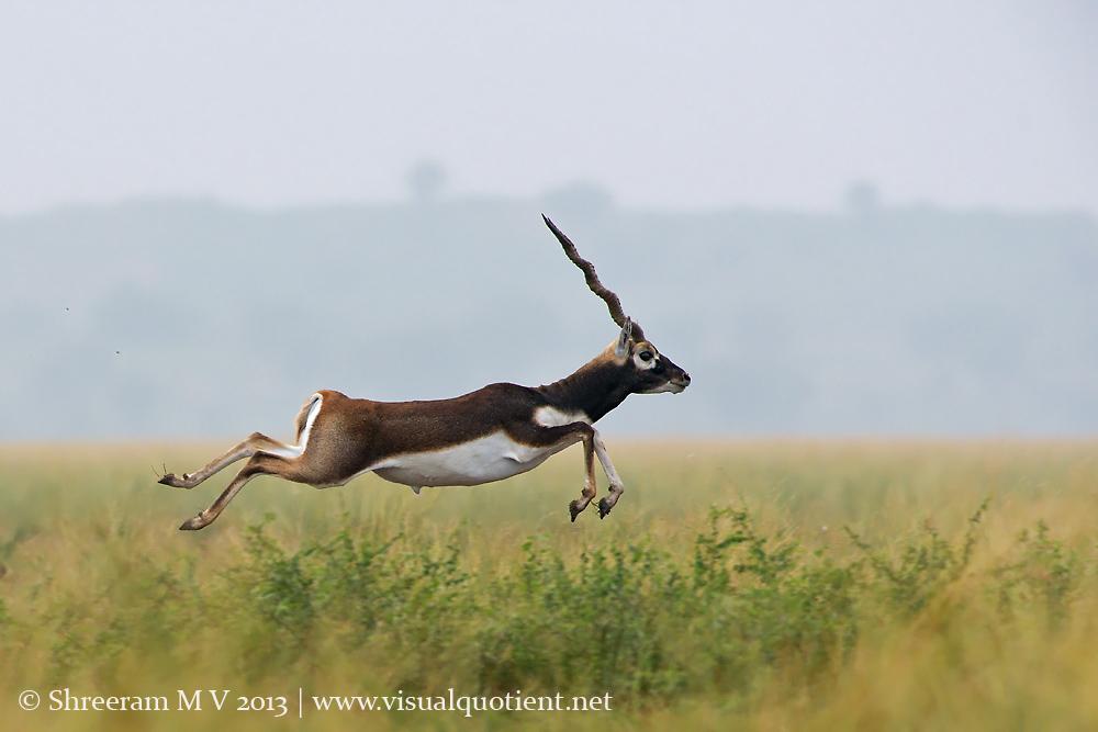 Blackbuck Leaping