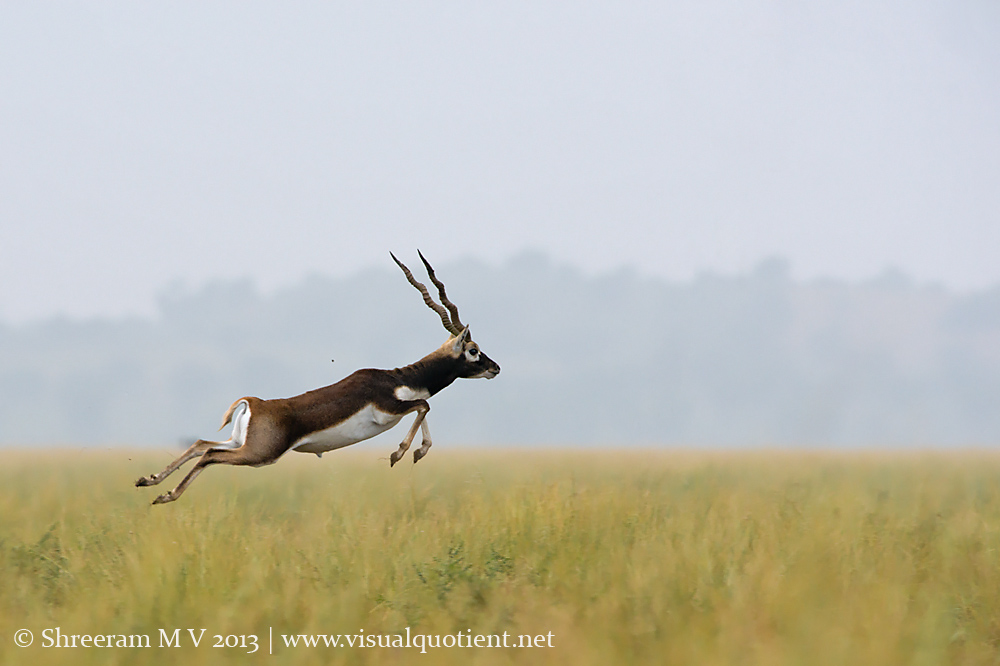 Blackbuck Leaping