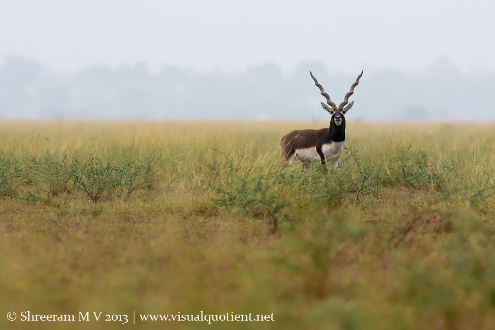 Blackbuck - Pausing
