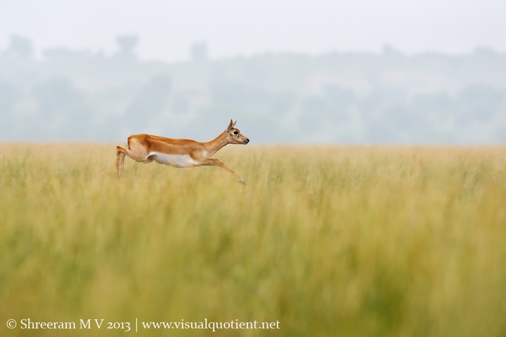 Female Blackbuck jumping - Imagine the height of the grass!