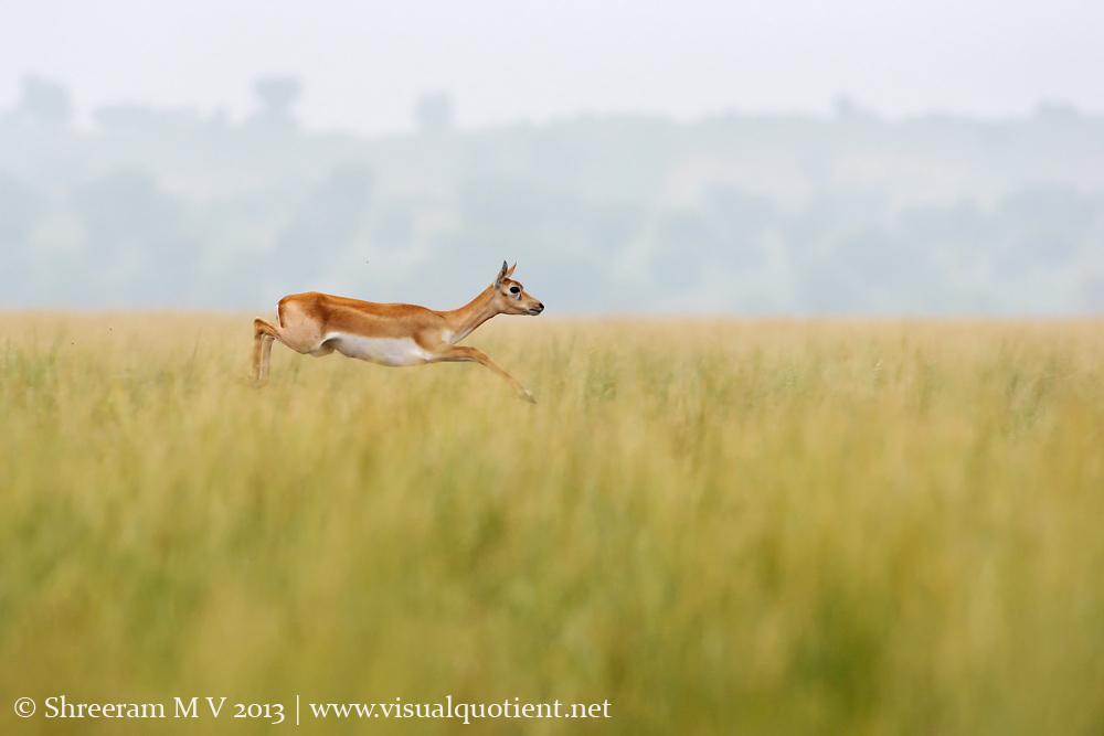 Female Blackbuck jumping - Imagine the height of the grass!