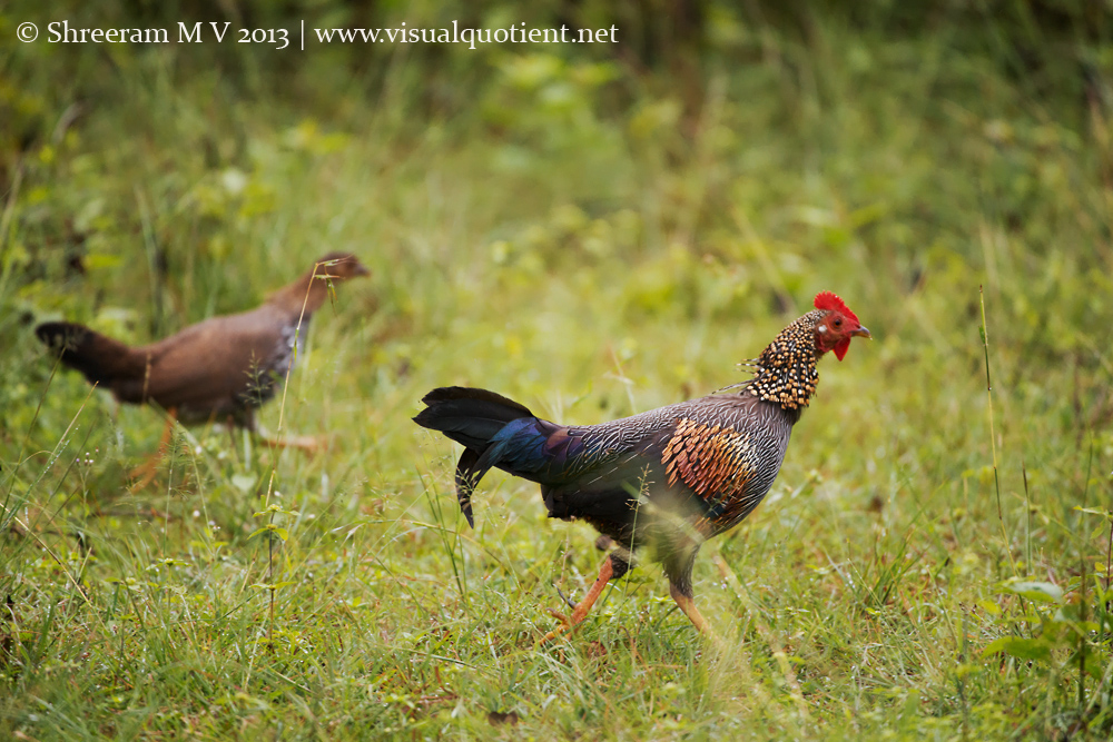Grey Junglefowl pair