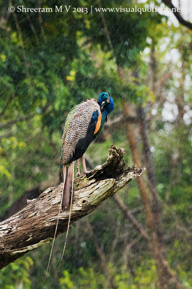 Indian Peafowl - Preening