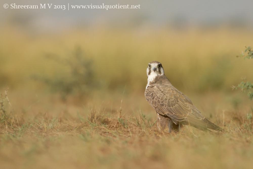 Laggar Falcon - Eye-level