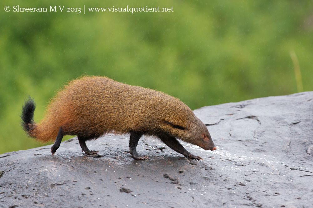 Stripe-necked Mongoose comes across some rice scattered on a rock