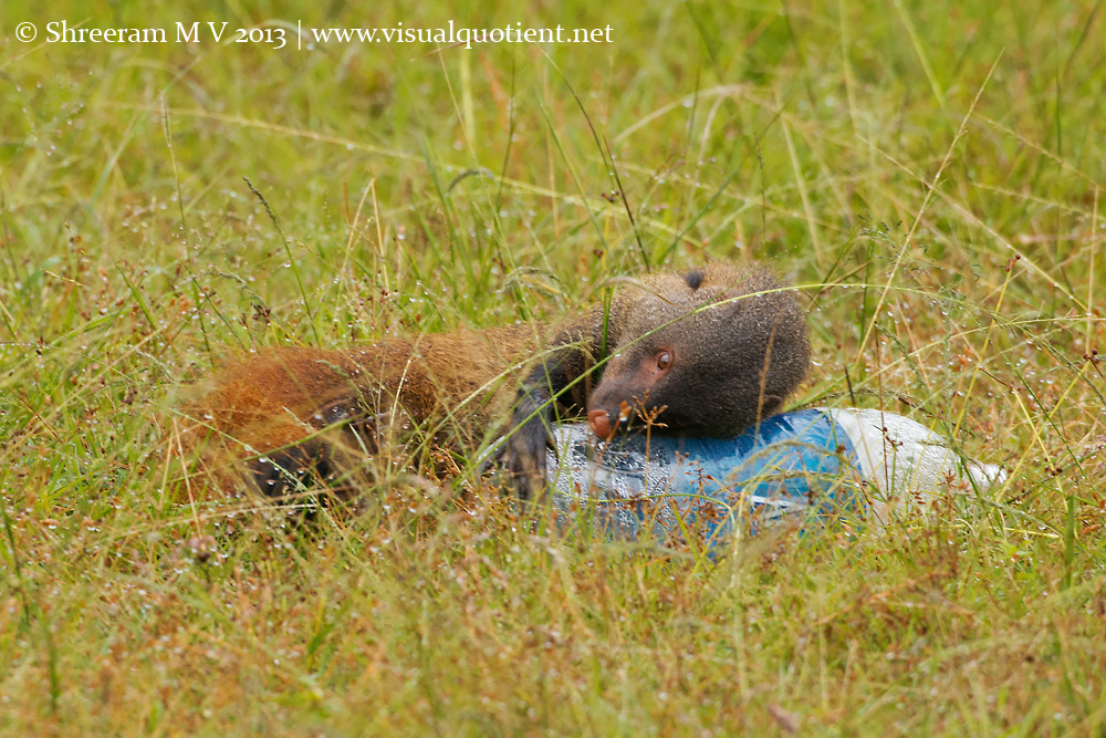 Stripe-necked Mongoose cuddling with the plastic bottle