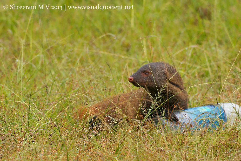Stripe-necked Mongoose ensuring there's no lurking danger