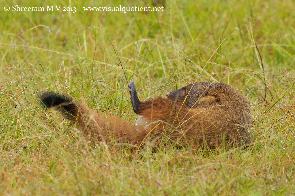Stripe-necked Mongoose rolling around with bottle
