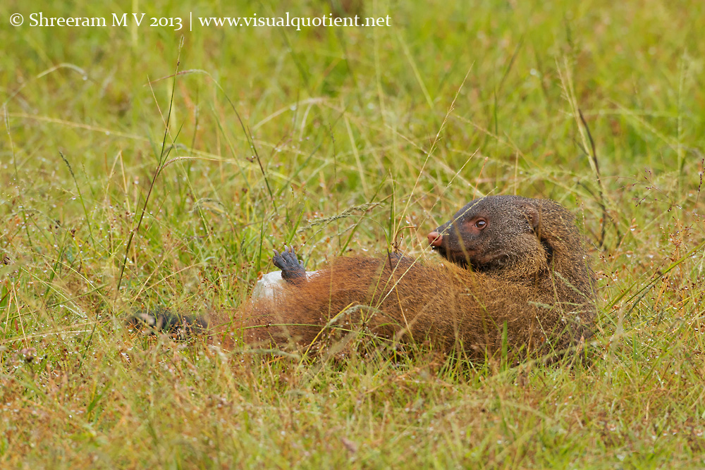 Stripe-necked Mongoose seems to have gotten over the bottle fascination
