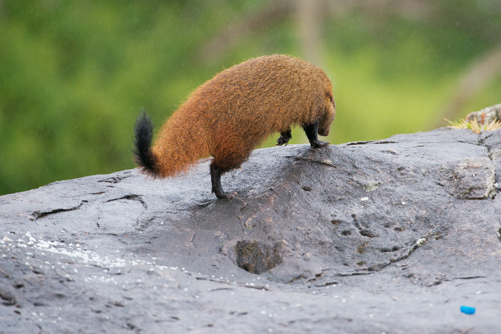 Stripe-necked Mongoose moves on to better things...